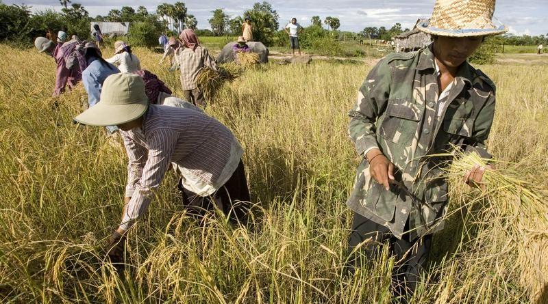 original_cambodia-rice-harvest.jpg